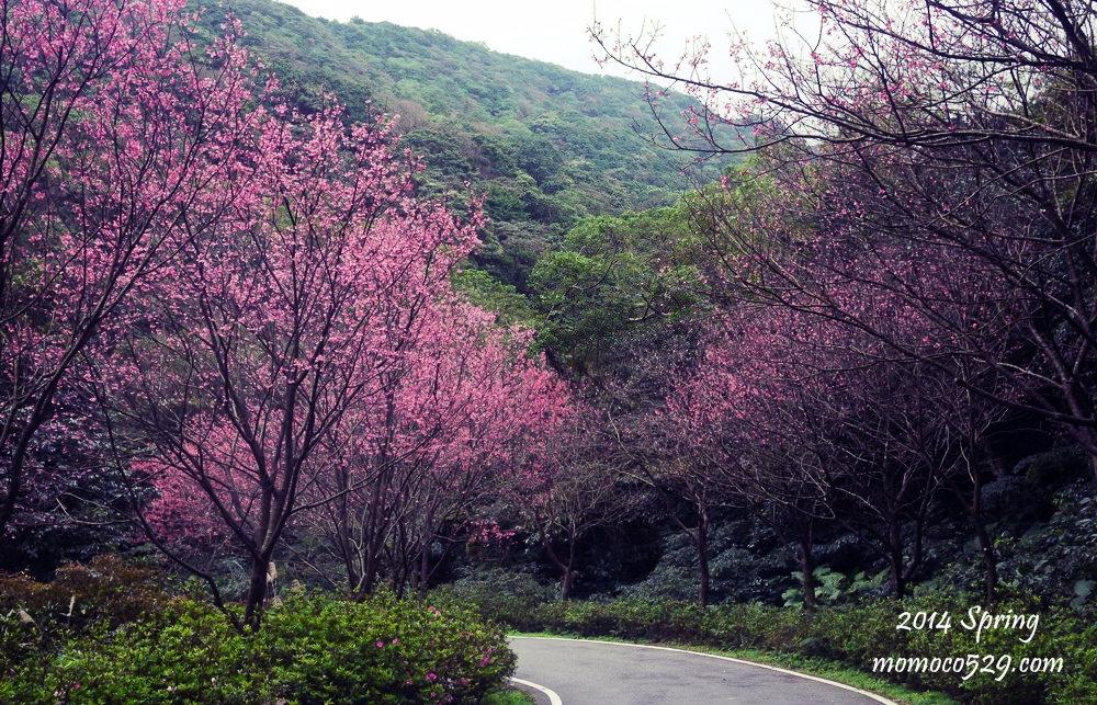 【新北三芝】我被櫻花包圍了♥青山路櫻花大道